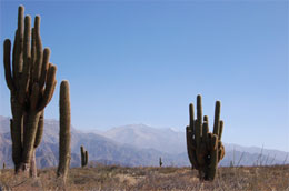 Cactus, nord ovest dell'Argentina